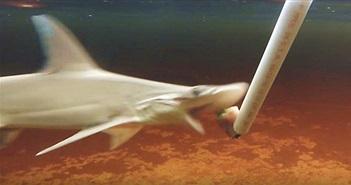 Bất ngờ với loài cá mập thích ăn chay