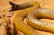 Taipan nội địa: Loài rắn có nọc độc giết chết 100 người cùng lúc