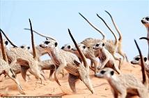 Cầy meerkat tưởng dễ thương, gây choáng với vũ điệu tử thần
