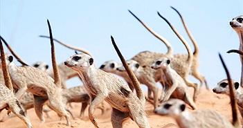 """Cầy meerkat tưởng dễ thương, gây """"choáng"""" với vũ điệu tử thần"""