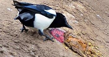 Vì sao chim ác là hay tấn công người, vẫn được yêu tại Úc?