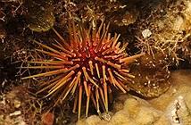 Các loài động vật nhỏ giúp cân bằng sinh thái tại biển Caribean