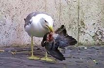 Hãi hùng cảnh chim mòng biển làm thịt bồ câu ngay trên phố