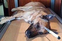 Chú chó anh hùng cứu chủ, bị dao đâm xuyên đầu vẫn đánh đuổi cướp