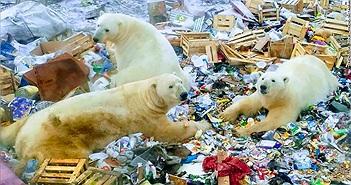"""Gấu Bắc Cực tấn công, """"quậy tưng"""" quần đảo Nga"""