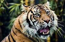 Run sợ hổ Sumatra vồ chết dân làng