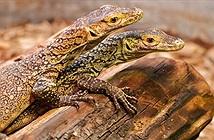 Rồng Komodo cái tự sinh sản mà không cần con đực
