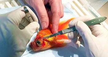 Phẫu thuật loại bỏ khối u cho cá vàng ở Anh