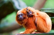 Đột nhập sở thú, trộm 17 con khỉ quý hiếm