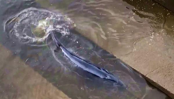 Cá voi mắc kẹt ở sông Thames