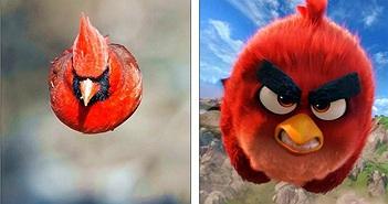 Đã tìm thấy nguyên mẫu đời thực chuẩn không cần chỉnh của chú chim Red trong Angry Birds