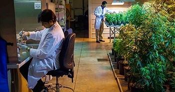 Chính phủ Mĩ muốn trồng thêm nhiều cần sa để nghiên cứu khoa học