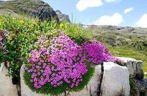 Khám phá loài hoa 300 năm ở Bắc Cực