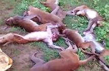 Bầy khỉ lên cơn đau tim chết tập thể nghi hổ dọa