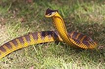 Kinh dị loài rắn 10 triệu năm không cần tiến hóa vì quá độc