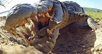 Video: Cận cảnh quá trình cá sấu ngậm đàn con mới nở thả xuống sông