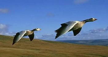Video: Điều đặc biệt giúp ngỗng đầu sọc có thể bay ở độ cao gần 8.000 mét