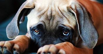 """Quá trình tiến hóa đã ban cho chó đôi mắt long lanh, để giờ chúng """"làm nũng"""" chúng ta thế này đây!"""