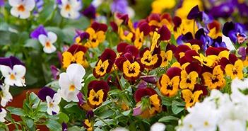 """Păng xê - loài hoa đẹp mang thông điệp """"nhớ về em"""""""