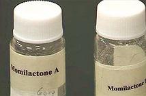 Chất quý từ gạo gây chết tế bào ung thư
