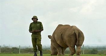 Tê giác trắng phương bắc đực cuối cùng qua đời và thông điệp gửi đến Trung Quốc