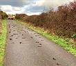 Chim sáo đá chết hàng loạt bí ẩn ở xứ Wales