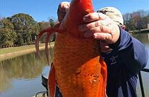 Phát hiện cá vàng khổng lồ ở South Carolina