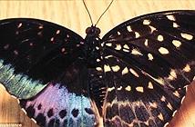 Phát hiện cá thể bướm nửa đực nửa cái cực hiếm ở Mỹ