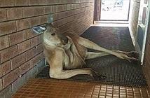 """Kỳ thú kangaroo phục kích phòng tắm để """"quyến rũ"""" con người"""