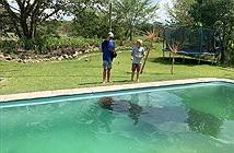 Sốc cảnh hà mã khổng lồ chiếm bể bơi, vô cùng thỏa mãn