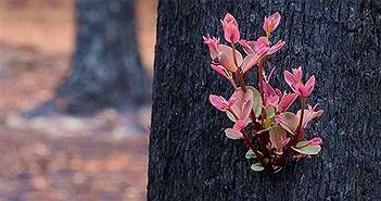 Chồi non mọc trên cây bị thiêu rụi trong cháy rừng ở Australia