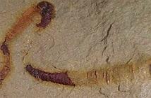 Phát hiện hóa thạch ruột động vật 550 triệu năm tuổi