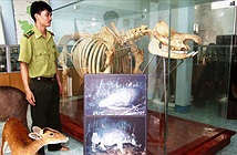Tê giác 1 sừng cuối cùng trên TG ở Việt Nam tuyệt chủng thế nào?