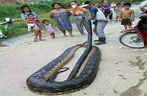 Malaysia: Bắt trăn khổng lồ nặng 1 tạ to lớn chưa từng thấy