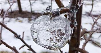 """Lạ kỳ những quả """"táo ma"""" xuất hiện trong đợt lạnh kỷ lục"""