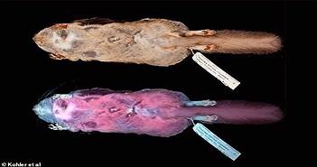 Bộ lông của loài vật này chói lòa màu hồng dưới tia UV và đây là lý do nó rất đặc biệt