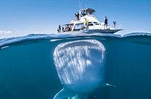 Sự thật đằng sau tấm hình cá mập khổng lồ bơi ngay dưới thuyền