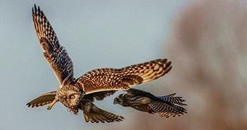 Chim cắt lưng hung xảo quyệt, tinh vi cướp mồi chim cú