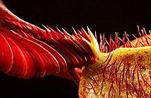 Cây ăn thịt người có hình dạng giống người ngoài hành tinh