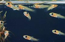 Cuộc phiêu lưu của những chú cá con