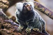 Khỉ tiền sử từng dùng bè để vượt Đại Tây Dương