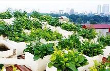 Kỹ thuật trồng rau sạch trong chậu xốp tại nhà đơn giản