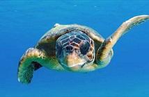Những con rùa vượt Thái Bình Dương nhờ một hành lang bí ẩn