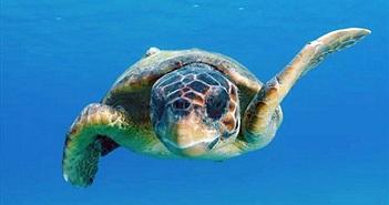 """Những con rùa vượt Thái Bình Dương nhờ một """"hành lang"""" bí ẩn"""