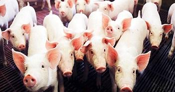 Phát hiện gien chịu trách nhiệm kích thước cơ thể của lợn