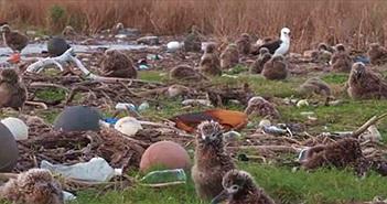 Thắt lòng trước cảnh chim chết hàng loạt trên đảo xa