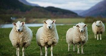 Trường tiểu học thiếu học sinh, đành cho cừu... đi học