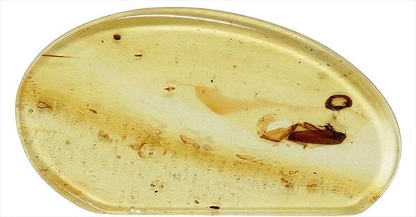 Phát hiện xác bọ kẹt trong hổ phách 99 triệu năm