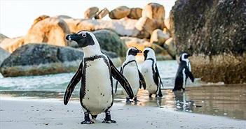 Cảnh hiếm vợ chồng chim cánh cụt nổi điên, tàn sát đồng loại