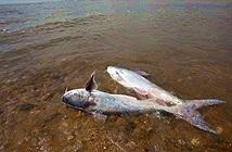 Vùng chết trên vịnh Mexico có thể đạt mức gần 21.000km2